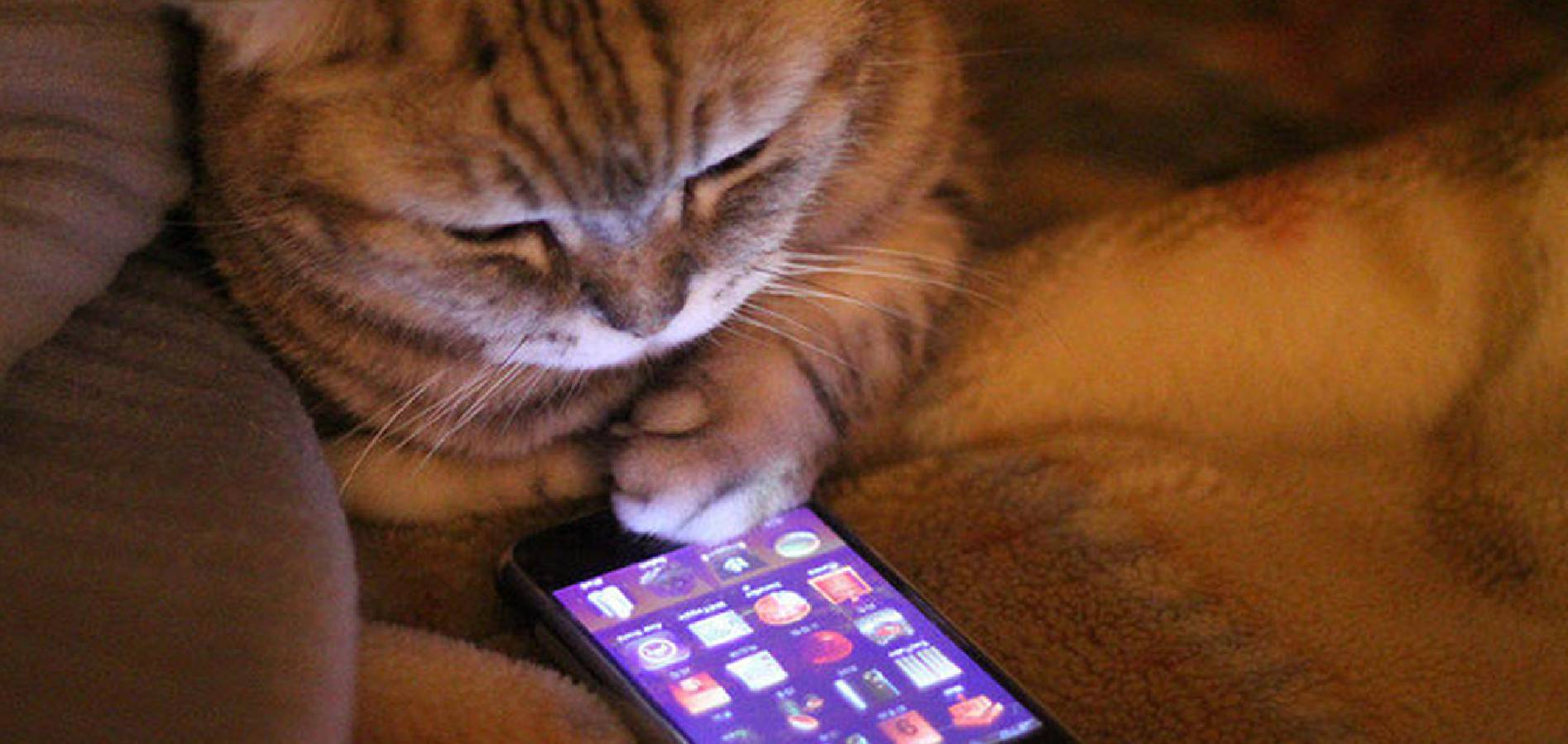 cat looking at apps on phone
