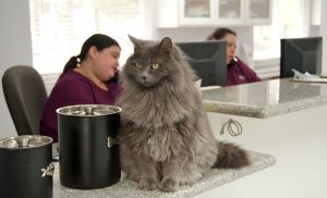 veterinary receptionists on phone with cat on counter